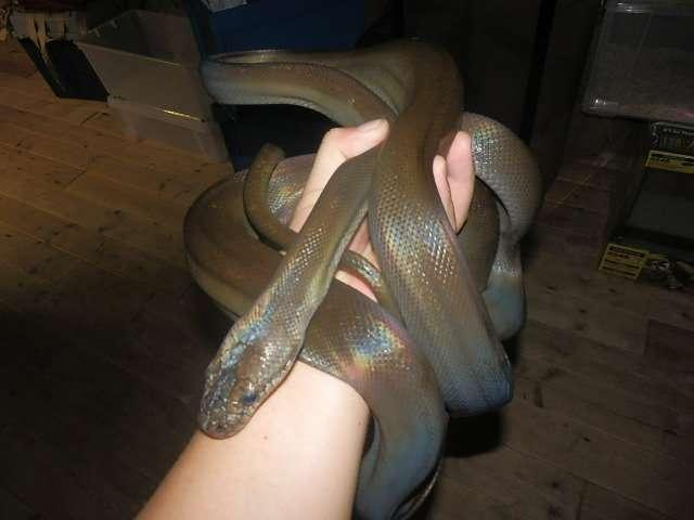 【閲覧注意】山口県でゴミ袋から2メートルの大型ヘビが生きたまま発見される…((;゚Д゚))