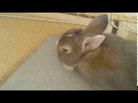 うさぎ バタン寝の瞬間♪ - YouTube