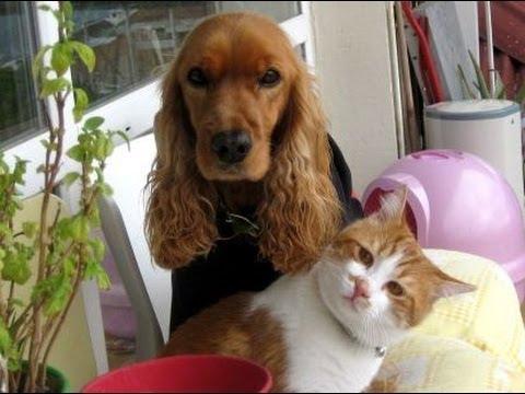 犬が好きな野良猫が家族になりましたよ(押しかけ猫)My new family member, the cat who likes dogs - YouTube