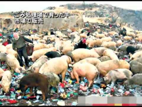 ごみ処理場で育った牛 市場で販売 =中国 - YouTube