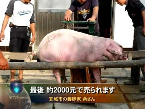 中国=豚の青耳病蔓延 死んでももちろん立派な商品 - YouTube