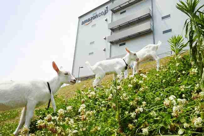 """""""ヤギの除草隊""""を盗んだベトナム人3人逮捕「盗んだヤギは食べた」"""