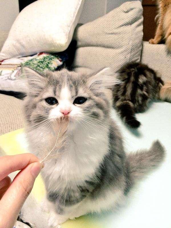 生まれて初めて羽をみたラガマフィンの子猫の反応wwwwww:ハムスター速報