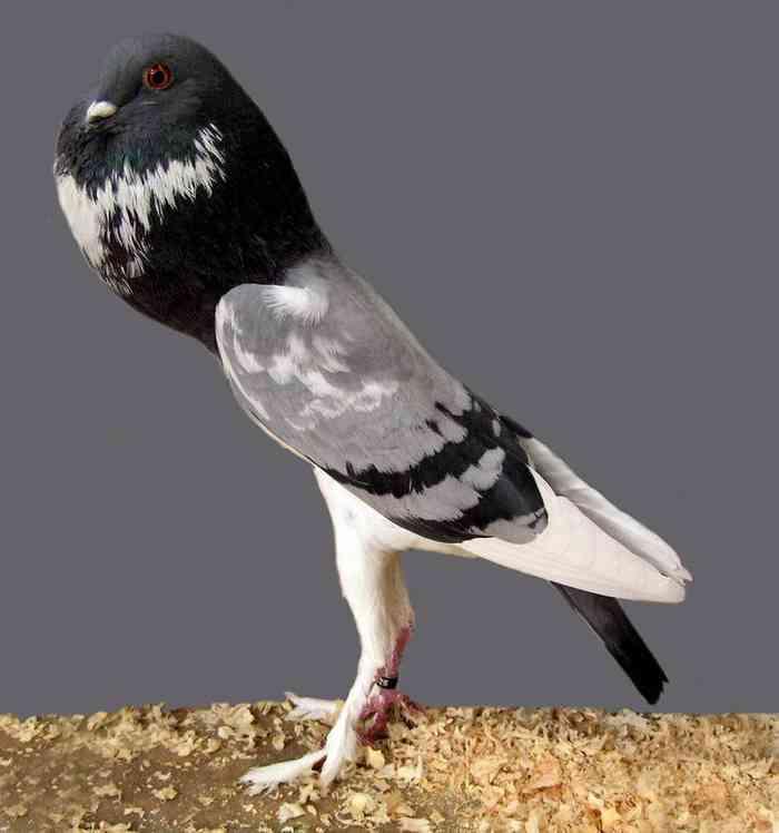 「ポウター」という美脚でシュールな鳩が話題にwww
