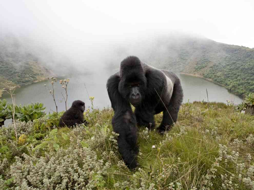 Silverback Gorillas Photo, Animals Wallpaper - National Geographic Photo of the Day