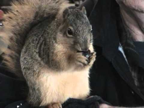 Tame squirrel, man's best friend - YouTube