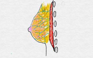 骨格とバストの関連性1: かたはばひろみの逆三角形ブログ
