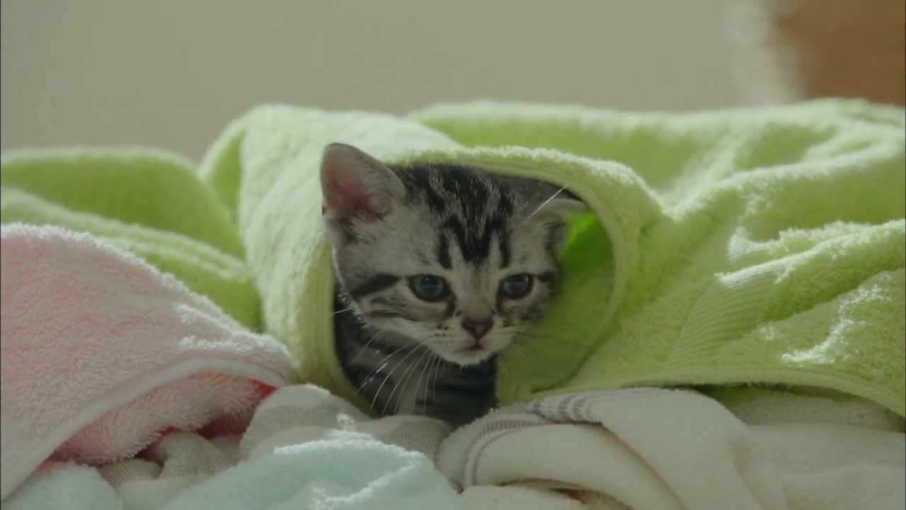 猫CM Kalkan ねこまっしぐら子猫用 - YouTube