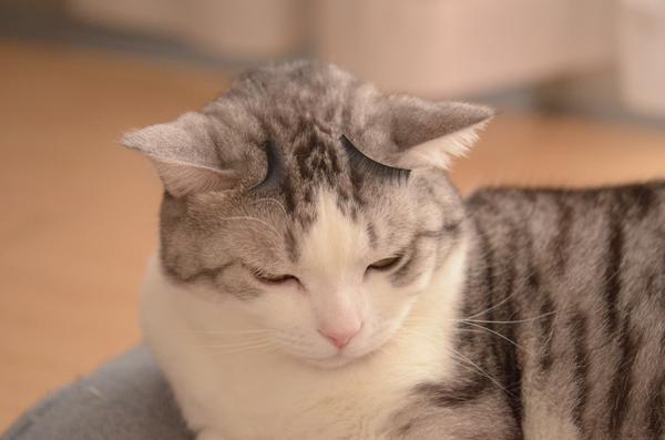 100円のつけまつげを猫の額にのせると途端に猫の表情は豊かになります。猫本人は何かが乗っているという… |うだまさんのついっぷるトレンド画像