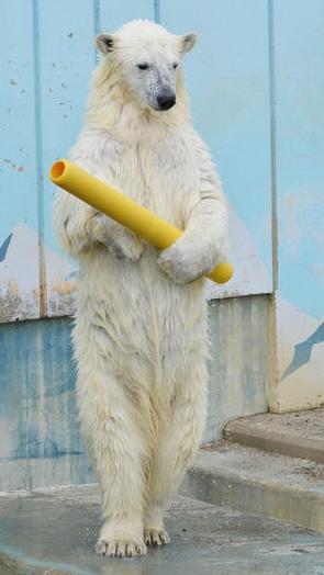 【画像】中に人が入ってる感ありまくりのシロクマ