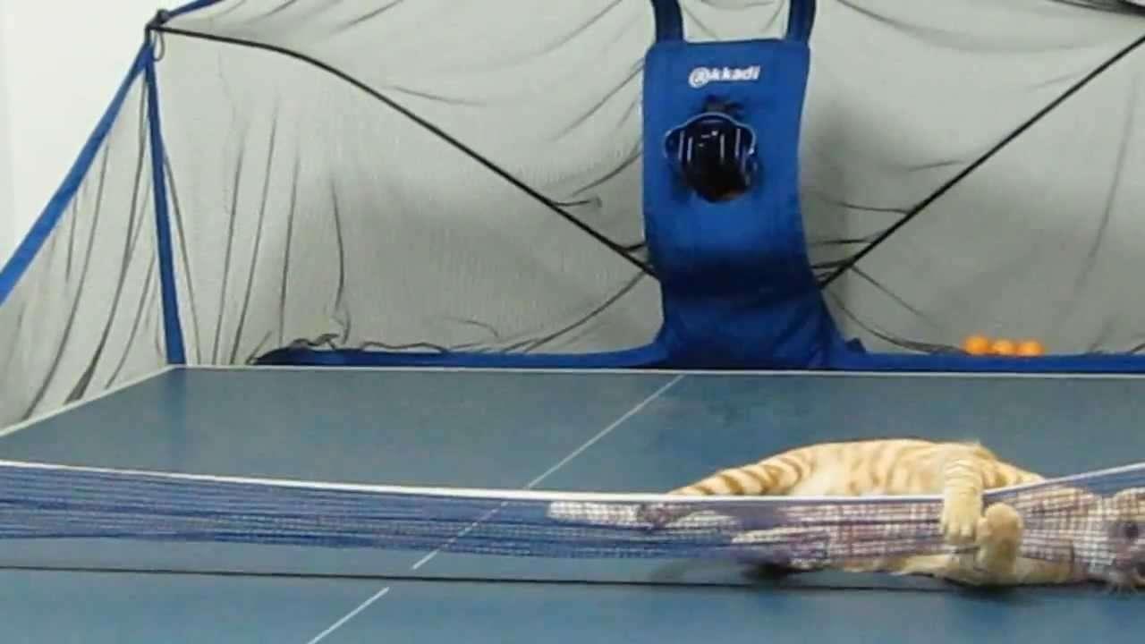 貓 打 乒乓球 - YouTube