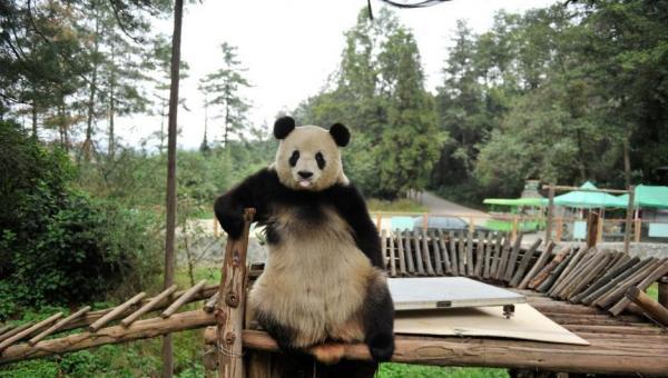 """動物園のパンダ、体重測定""""断固拒否""""で計器破壊 入園者には""""ドヤ顔""""でポーズ―中国雲南省"""