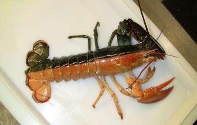 真ん中で真っ二つ、黒とオレンジ色の「ハロウィーン・ロブスター」釣れる:AFPBB News