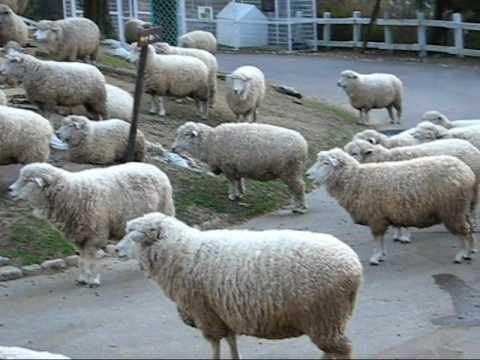 When Sheepbell Rings   羊がすいこまれるというしくみ - YouTube