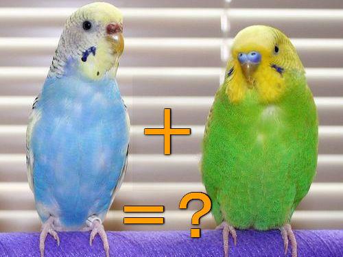 遺伝の不思議…半分ずつ色が違う「ハーフサイダー」なセキセイインコ