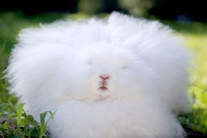 """【閲覧注意】アンゴラウサギの残虐な""""毛むしり""""の実態に、世界の有名ブランドがボイコットを発表"""