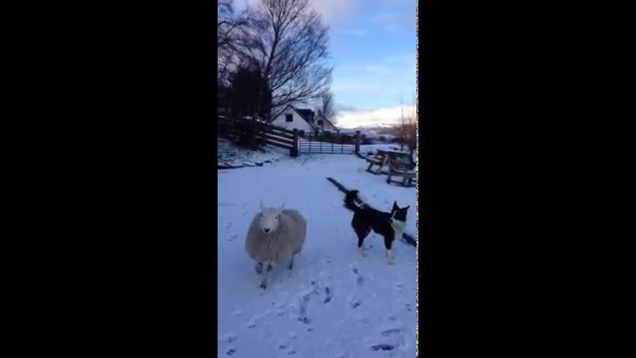 Pet the lamb that thinks it's a dog! - YouTube