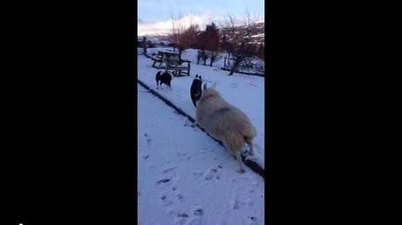 【もふもふ】兄弟ワンコとぴょんぴょん跳ねまくる! 完全に犬だと思っているヒツジさんの動きがかわええ | Pouch[ポーチ]