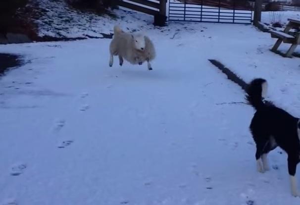【もふもふ】完全に犬だと思っているヒツジさんの動きがかわええ!兄弟ワンコとぴょんぴょん跳ねまくる