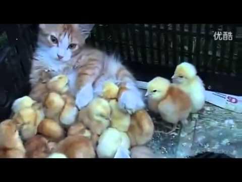 【感動】ひよこのお母さんになった猫 - YouTube