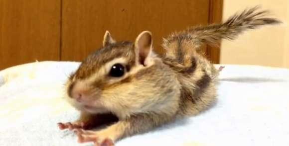 【ほっこり】指先までピーン! 朝のストレッチを行うシマリスのビッケちゃんがかわええ / ネットの声「本当に癒される!」 | Pouch[ポーチ]