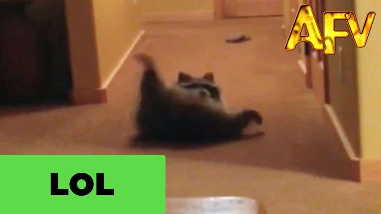 Chubby Rolling Raccoon Is Boss | AFV - YouTube