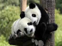 双子パンダ、すくすく成長 和歌山で「ひな祭り」