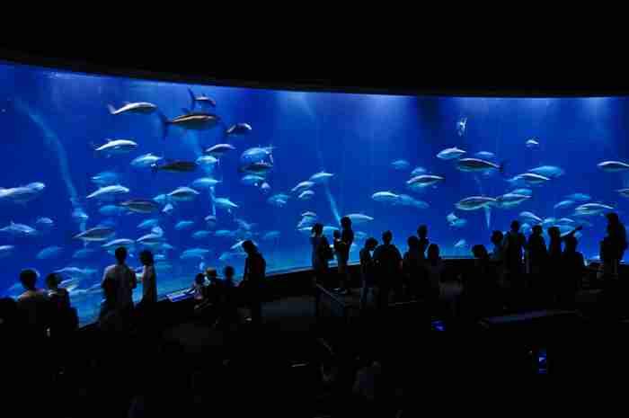 1尾だけになってしまった葛西臨海水族園のマグロ まもなく仲間たちが合流決定