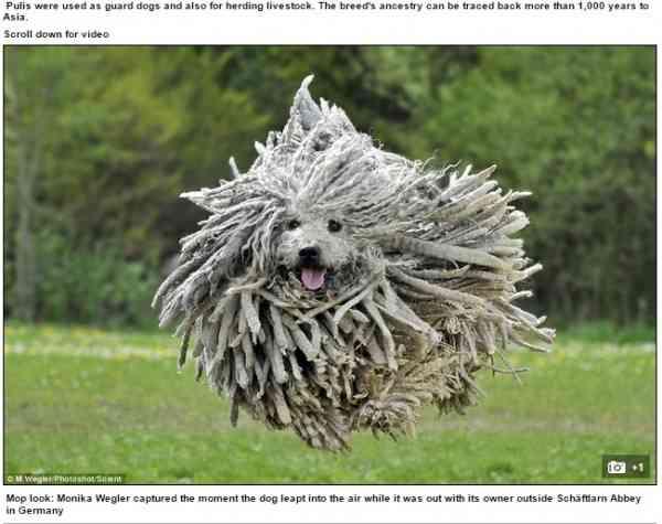 """まるで飛び跳ねるモップ!? 超珍しい犬種""""プーリー""""!"""
