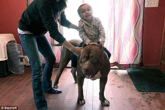 世界最大の番犬「ピットブル」がデカすぎる 17ヶ月でこの大きさ