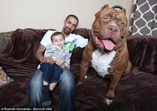 痛いニュース(ノ∀`) : 【画像】 世界最大の番犬「ピットブル」がデカすぎる 17ヶ月でこの大きさ - ライブドアブログ