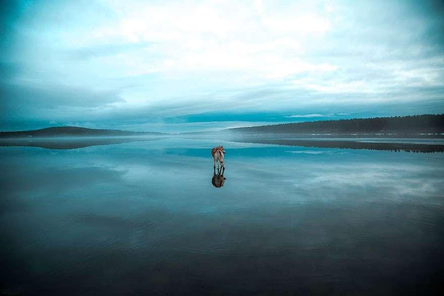 水上を歩いているかのようなシベリアンハスキーが幻想的