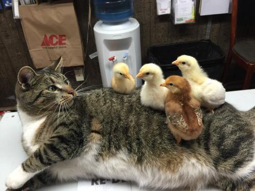 ネコ「いつの間にかワタシの背中の上でヒヨコさんたちが温まっていたのです」:ハムスター速報