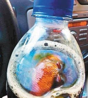 買ったばかりのコーラ、一口飲んだら中から金魚が! ペプシ側は賠償の意向