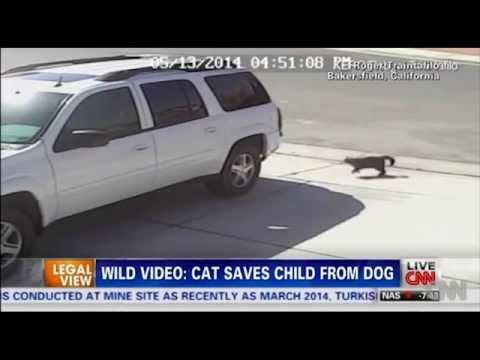 猫が猛犬に体当たり、飼い主の子ども救う CNN -CAT SAVES CHILD FROM DOG- - YouTube