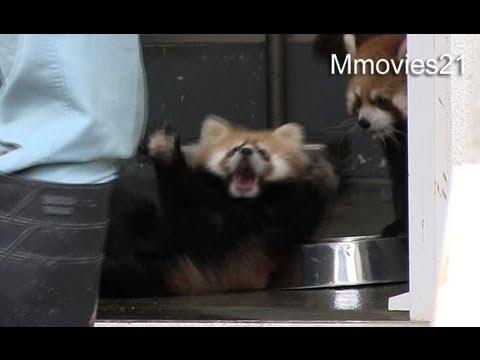 びっくりしてひっくり返る赤ちゃんレッサーパンダ~Red Panda Baby surprise ! - YouTube