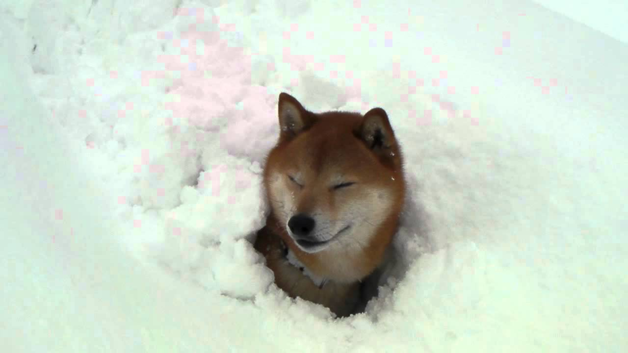 柴犬ジロー 大雪で・・・ Shiba inu - YouTube