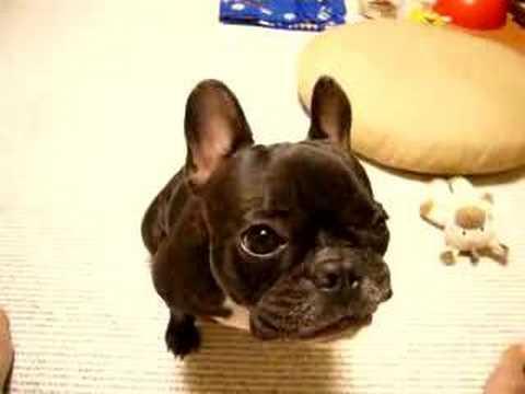りんごを味わって食べる French Bulldog anko フレンチブルドッグ あんこ - YouTube