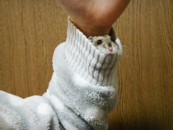 袖に入ったハムスターが可愛い