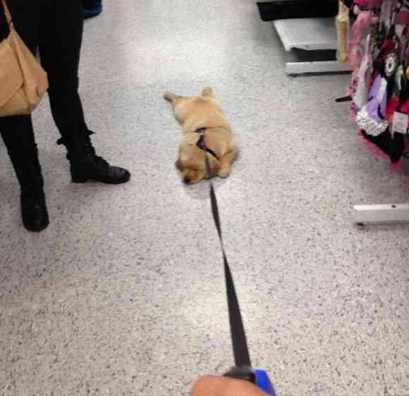 【画像】犬だからっていつも散歩がしたいとは限らない! 散歩を全力で拒否する犬たちが可愛い