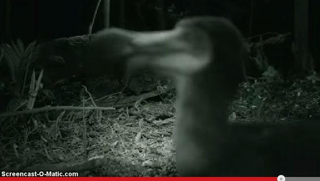 飛べない鳥ドードーを中米コスタリカで発見!実は絶滅してなかった!?【動画】 |  WAVE NEWS