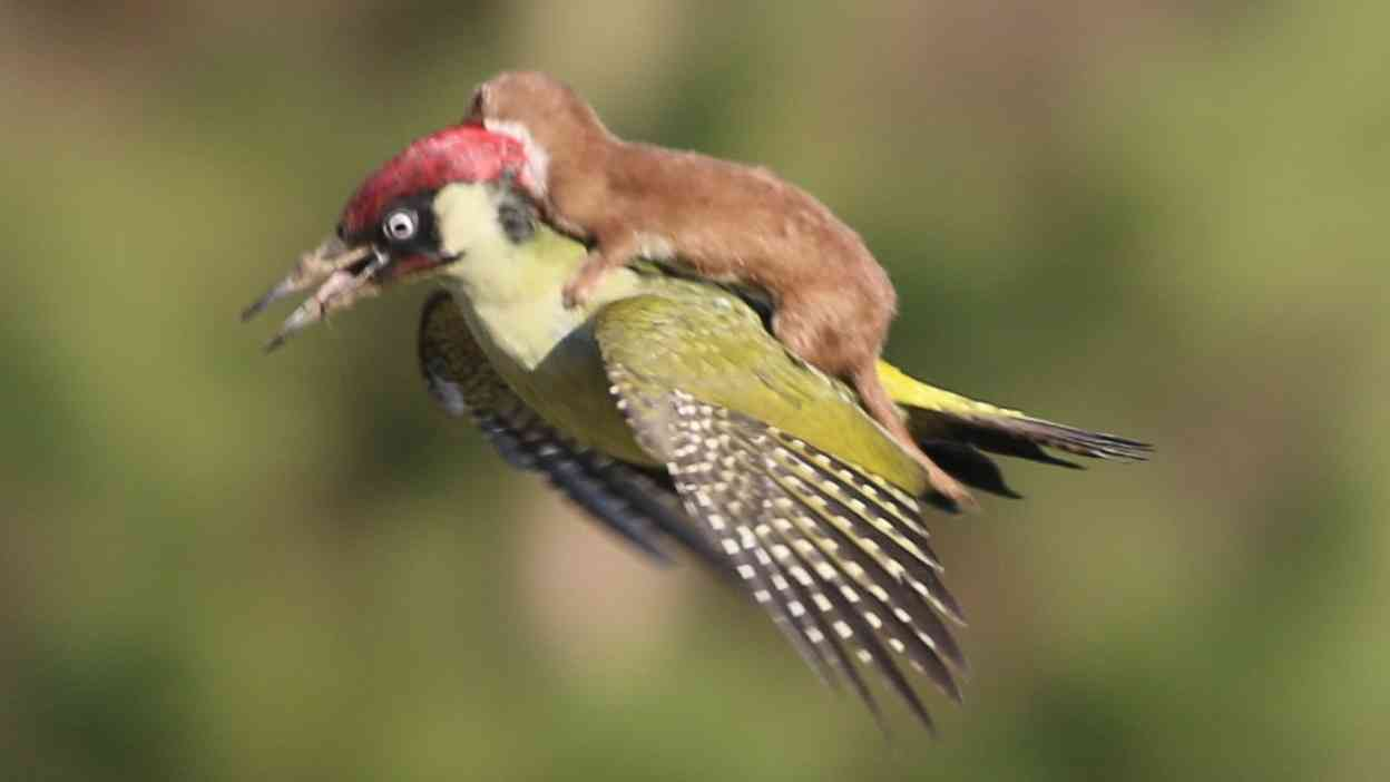 Woodpecker shown flying with weasel on its back in amateur photographer's amazing image - ITV News