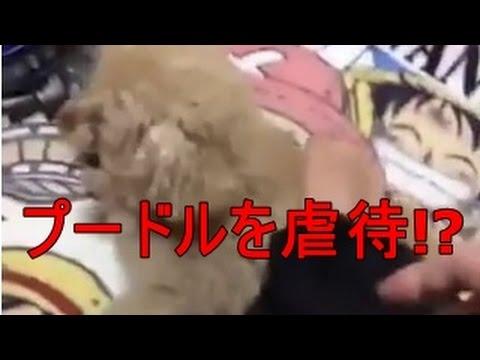 【衝撃】とくダネも報道!プードルを虐待した動画が話題に!名前はメルちゃん - YouTube