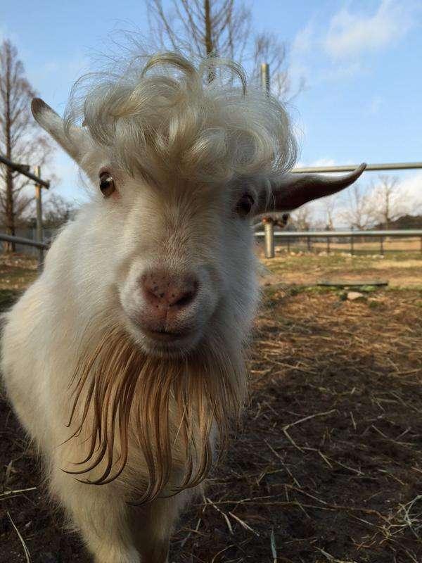 昨年生まれた前髪が天然パーマの山羊www