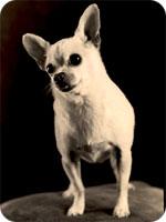 X51.ORG : チワワは犬に非ず