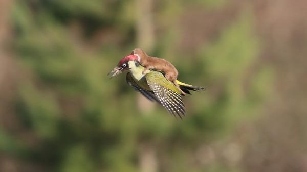 【画像】キツツキが背中にイタチを乗せて飛行する事案が発生 イタチに襲われた状態で飛んだらしい:キニ速
