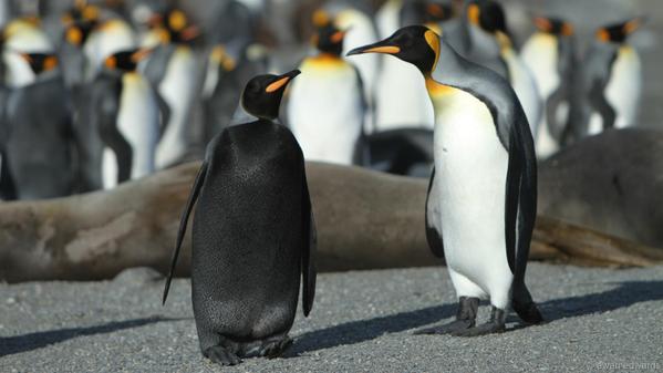 多分誰も見たことがない「全身真っ黒」のペンギンが発見される!