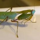 カマキリがゴキブリを補食するシーン