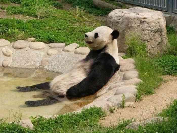 面白い動物リラックスパンダ