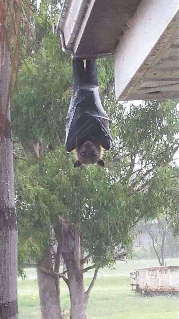「世界一大きいコウモリ」の姿がホラーすぎてヤバイと話題に!